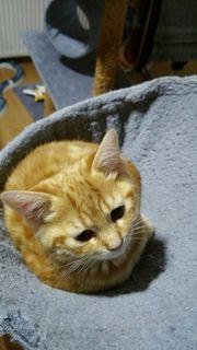 rote Bengal Kitte