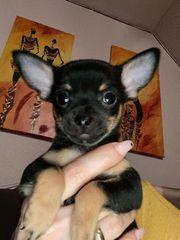 Chihuahua Welpen Rüden