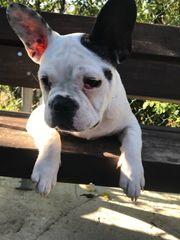 Reinrassiger Französische Bulldogge Rüde