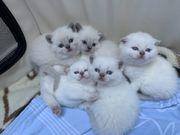 Scottish Fold Straight Kitten weiss
