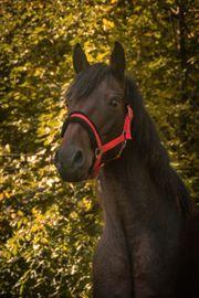 Reitbeteiligung - Pferd sucht Reiter