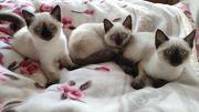 Siam Kitten Abgabebereit