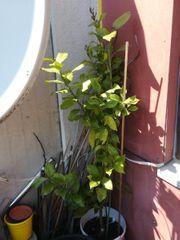 Lemon Baum
