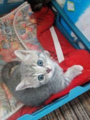 Reinrassige BKH jung Katze