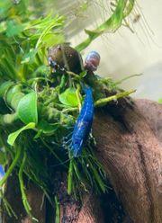 Verkaufe Neocaridina blue velvet dream