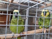 blaustirnamazonen amazone papagei