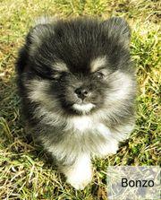 Traumhaft süße Pomeranian - Zwergspitze mit