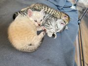 Bengal-Mix-Kitten