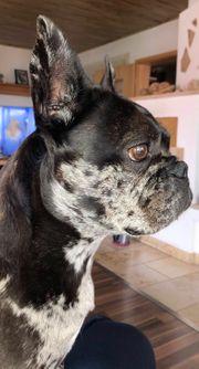Wurfankündigung Französische Bulldogge Merle