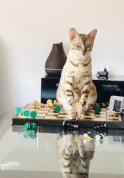 Bengal Züchtkatze mit Papiere gedeckt
