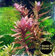 indische Rotala Aquariumpflanzen Versand Abholung