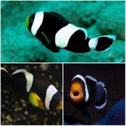 Meerwasser Sattelfleck-Anemonenfische Paar