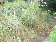 Bambus-Pflanzen gratis abzuholen