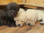 Labrador Welpen Blond Braun