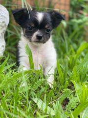 Reinrassiger Chihuahua Welpe