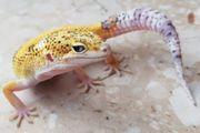 leopardgeckos aus 2019