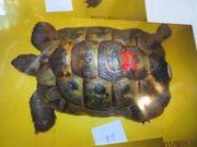 Großes Maurisches Landschildkröten Männchen zu