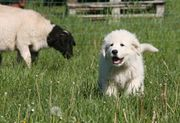 Maremmano Abruzzese Herdenschutzhund Hirtenhund