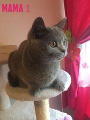 BKH-Kitten in Blau wunderschöne Britisch
