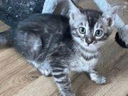 Bengal Kitten Silber Charcoal 13