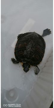3 Wasser Schildkröten