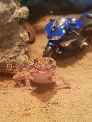 Leopardgecko 1 0 mit großem