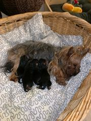 wunderschöne Yorkshire Terrier Welpen