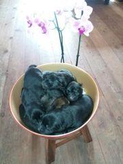Deutscher Schäferhund Welpen grau schwarz