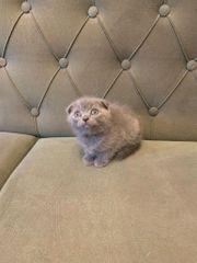 Scottish Fold Kitten in Blue