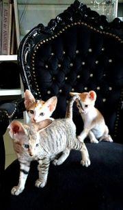Sphynx Orientalisch OKH Kitten