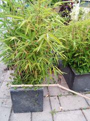 Bambus in 2 Kisten 28