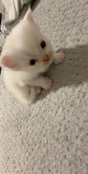 Perser Baby Katzen