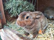 Junge Kaninchen 2 Monate alt
