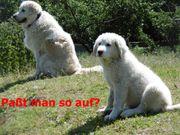 Herdenschutzhund Welpen Mix groß