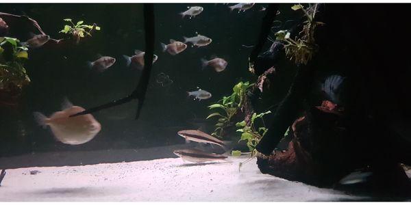 Fische zu verschenken Siam Rüsselbarben