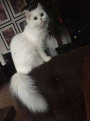 Katzendame sucht Katze Perser Deckkater