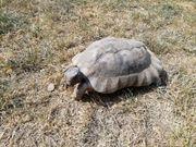 1 2 adulte Breitrandschildkröten