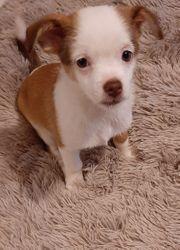 Welpen Chihuahua Pekinese Mix