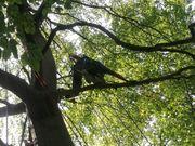 Baumfällung mit Seilklettertechnik und Steiger