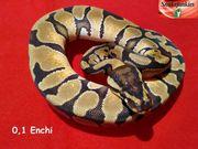 Enchi Weibchen von 2020