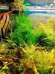 Java - Moos für das Aquarium