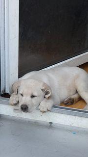 wunderschöne reinrassige Labradorbabys