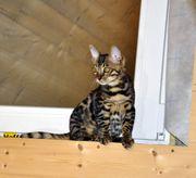 Kitten Bengal Kitten