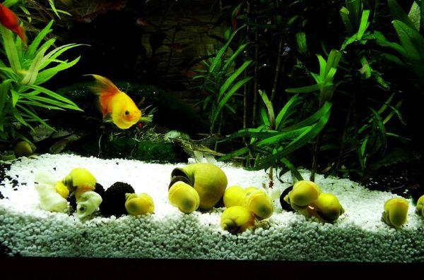 Apfelschnecken Gold-Gelb und Gelb