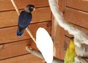 Agaporniden Pfirsichköpfchen Schwarzköpfchen pastellblau blau
