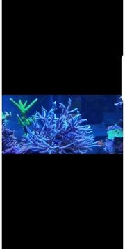 Acropora staghorn Blau sps Meerwasser