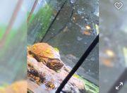Wasserschildkröten Aquarium mit Fischen und