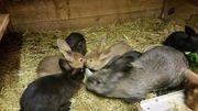 Kaninchen stallkaninchen