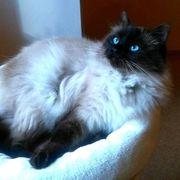 Wurfankündigung Neva-masquarade Ragdoll Kätzchen