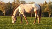 Freizeitpferd -Toller Appaloosa-Wallach